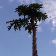 21 パパイヤの木